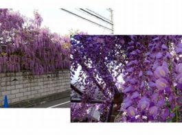 藤の花の香り