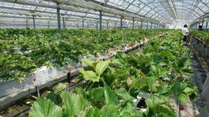 高設栽培のイチゴ苗