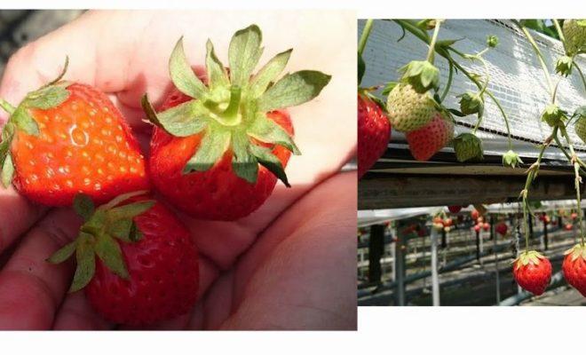 いちごの品種【あすかルビー】【紅ほっぺ】【さがほのか】