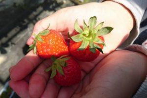 いちご狩りの苺