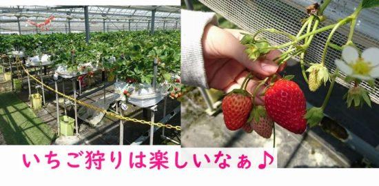 関西最大級の小川いちご農園